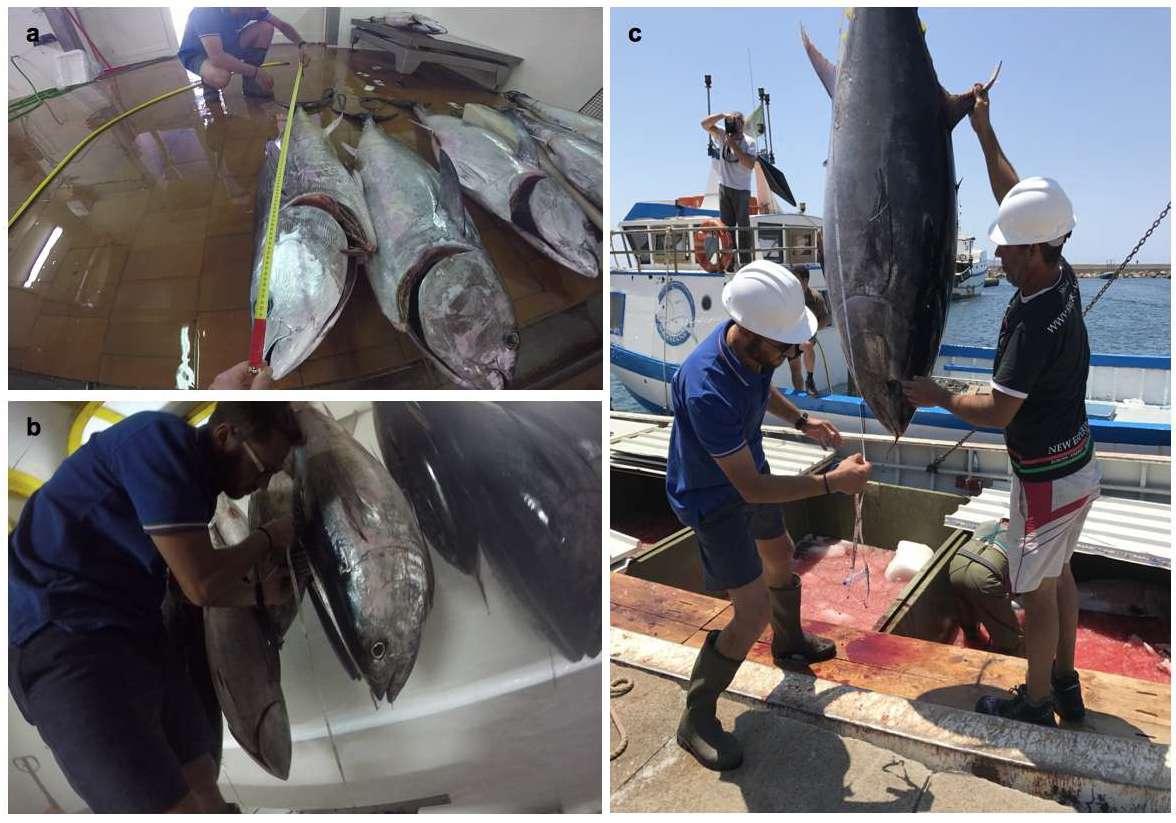 Foto delle fasi della mattanza e misurazione dei tonni