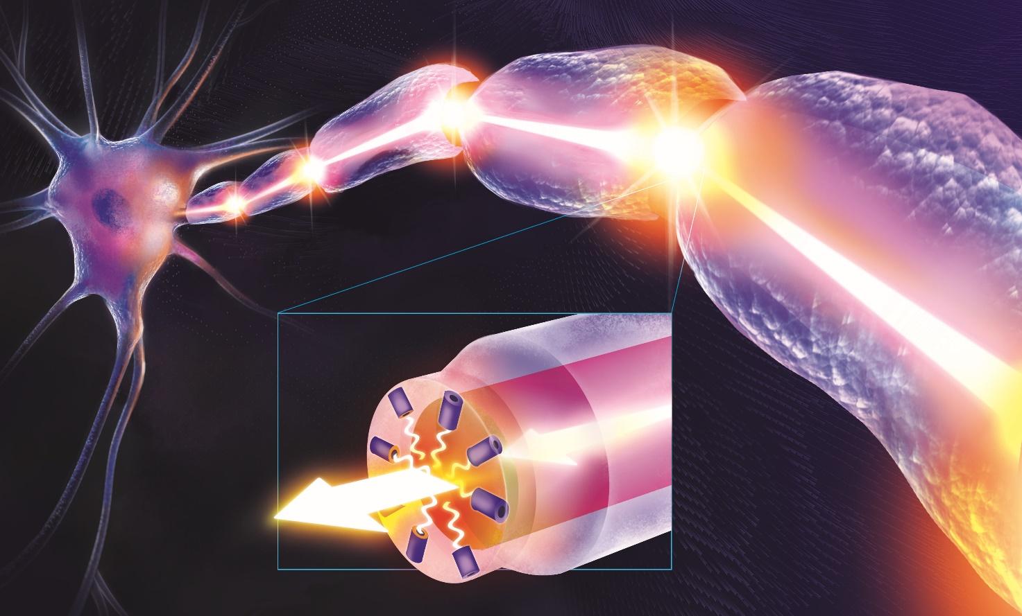 La radiazione luminosa, scaturita dal nodo di Ranvier, viaggia lungo i segmenti mielinici. Foto: dott. Luca Massaccesi.