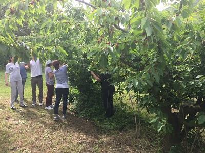 Agricoltura sociale e disabilità, la raccolta delle ciliegie