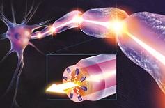 La radiazione luminosa, scaturita dal nodo di Ranvier, viaggia lungo i segmenti mielinici. Foto: dott. Luca Massaccesi