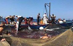 Pesca del tonno rosso e salvaguardia della specie